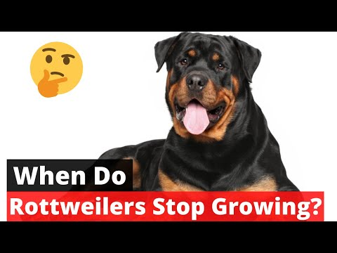 When do Rottweilers stop growing? | Rottweiler Growth Pattern |
