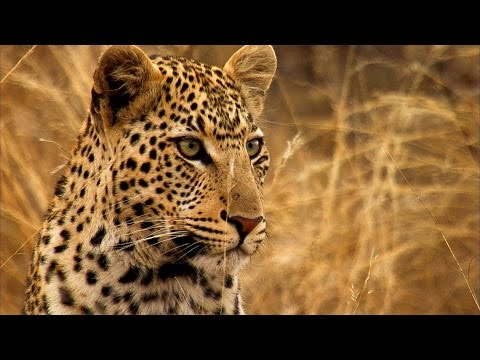 Young Leopard Steals Kill From Mother | Africa | BBC Earth