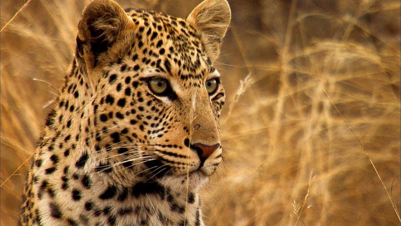 young leopard steals kill