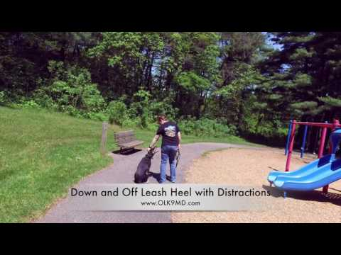 Mix Breed with no formal training learns obedience with Off Leash K9 Training, Maryland
