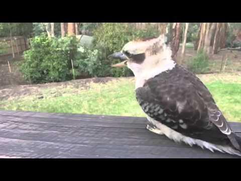 Amazing slow motion kookaburra