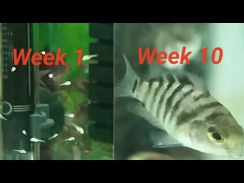 Convict Cichlid Fry Growing Up - Week By Week Log