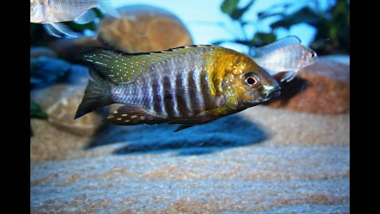 Новоселы от Cichlidenstadl. Короли озера Малави - прекрасные аулонокары!