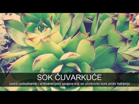 Od kojih bolesti vas čuva čuvarkuća (Sempervivum tectorum)?