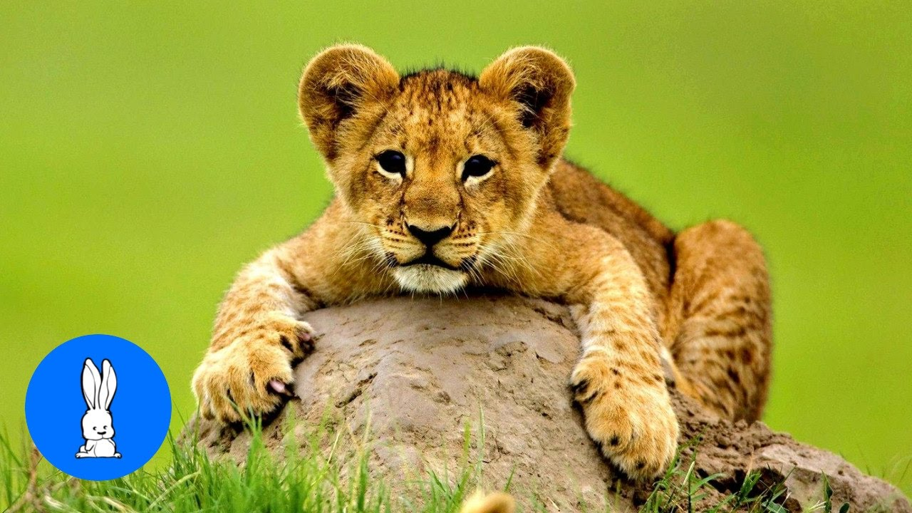 Lion Cubs Roaring (Baby Edition) - Cutest Compilation ...