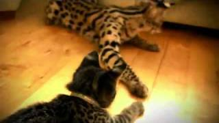 Domestic Serval and Savannah kitten