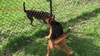 Colt (German Shepherd Dog/Dutch Shepherd Mix)