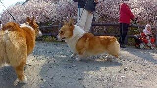 Cherry Blossoms / 春めき桜 福沢ja 南足柄市 20120328 Goro@welsh Corgi