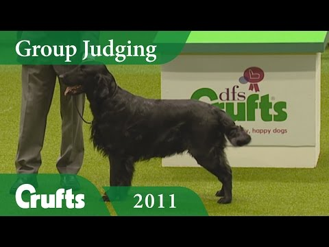 Flat Coated Retriever wins Gundog Group Judging at Crufts 2011 | Crufts Dog Show