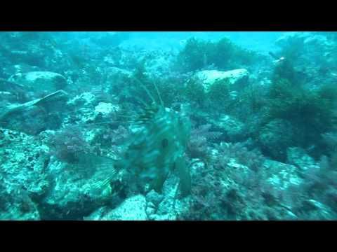 Вопрос: Кого называют морским петухом, что известно?