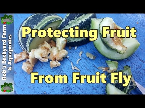 Queensland Fruit Fly Protecting Fruit - Our Organic Method