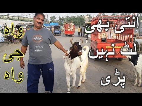 Rajanpuri Bakra - Sindhi Goats in Lahore Bakra Mandi For Qurbani Eid (2018) TAYYARIYAN SHURO !