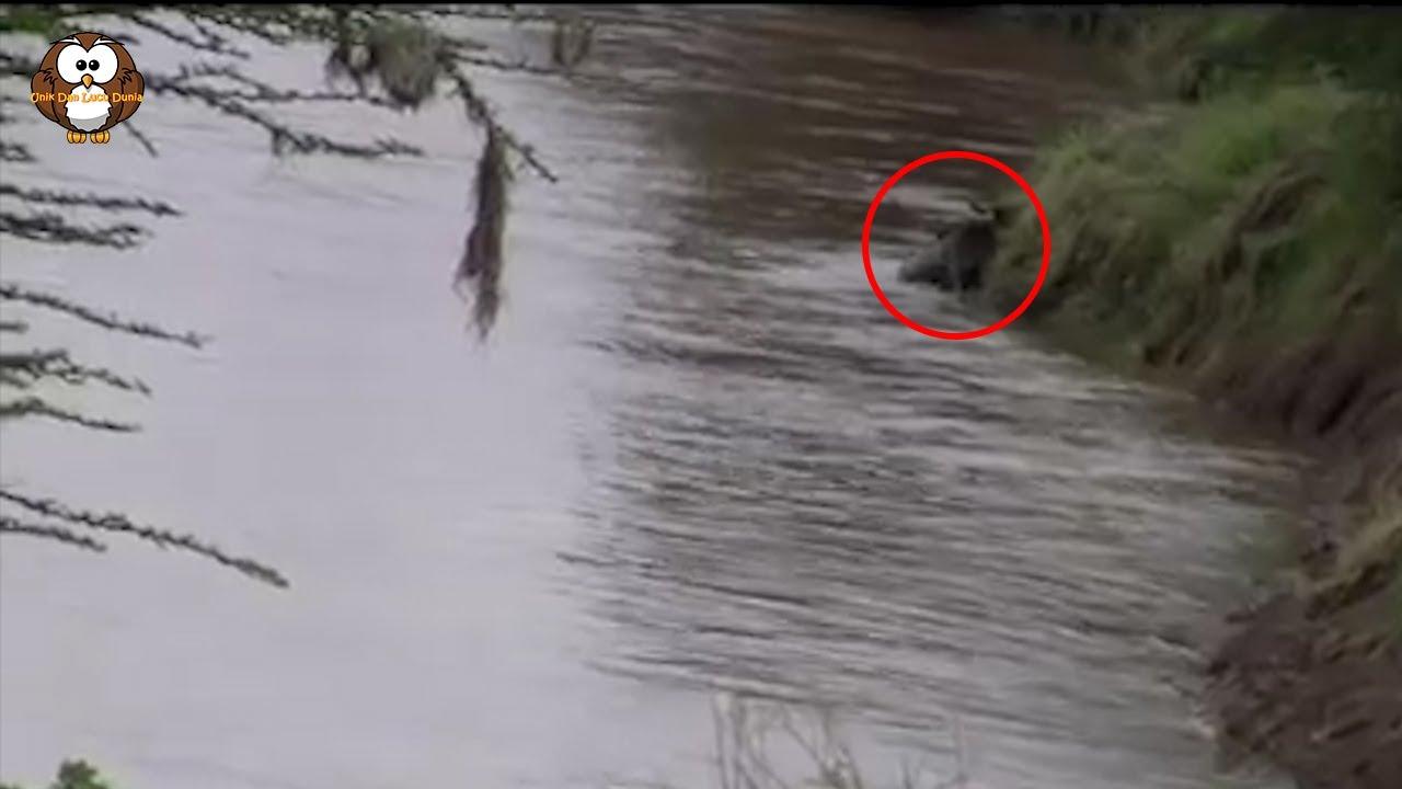 Detik-Detik Mengerrikan!! Dengan Sangat Brutal Seekor Wildebeest Terekam Kamera Di Habisi Buaya!!