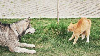 Angry Cat Vs German Shepherd Dogs