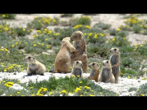 Prairie Dogs: America's Meerkats - Social Life