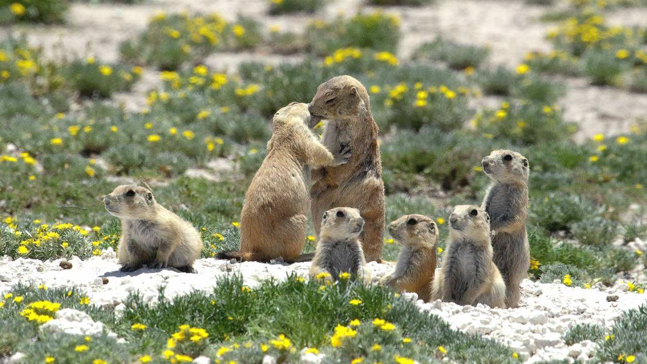 how to keep prairie dogs out of your yard