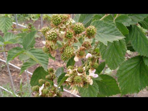 Ежевика 20 сортов,что прижилось что нет,какие сорта наливают ягоду.