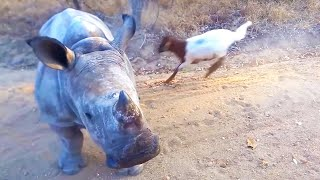 Rhino That Thinks It\'s A Goat