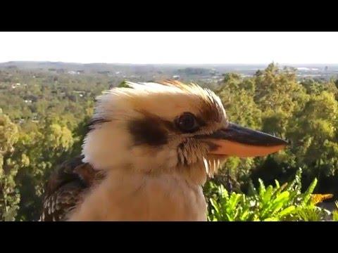 Kookaburra Up Close and Personal (Laughing Kookaburra)