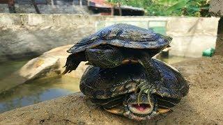 enero-mes-del-cortejo-o-apareamiento-de-las-tortugas