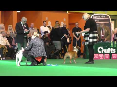 Crufts Dog show 2017 Miniature Bull Terrier Seaquest Somme by AMiniRumpus
