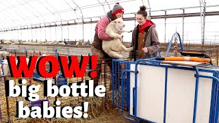 who-did-it-better-weighing-and-analyzing-bottle-raised-lambs-with-special-guest-vlog-230