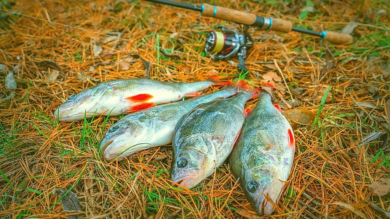 Catch, Cook and Camp in the Mountains - Wild Perch Edition!