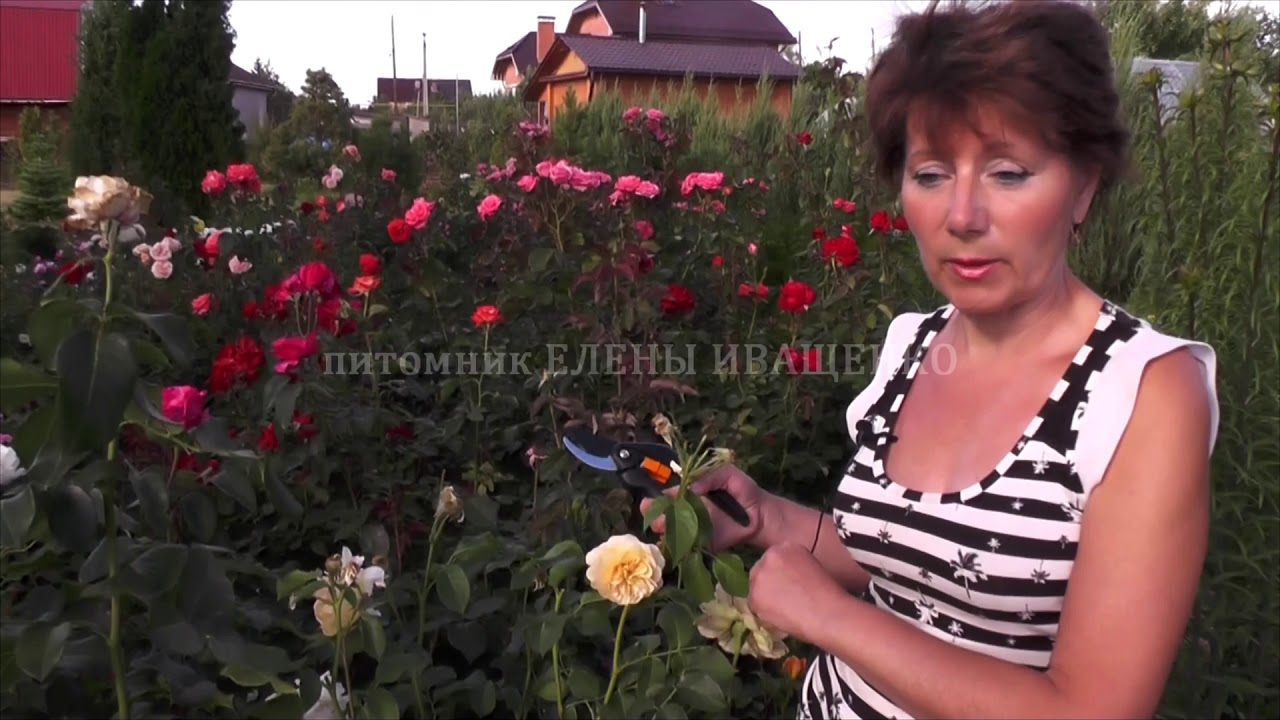 Купить, питомник елены иващенко каталог роз с фото и ценами как заказать