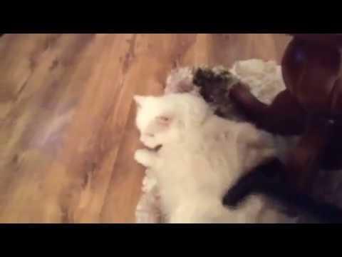 Vacuuming white Turkish Angora cat
