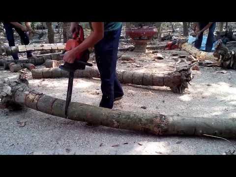 Quy trình lấy lõi cây sưa đỏ - gỗ sưa đỏ - GOSUADO.COM