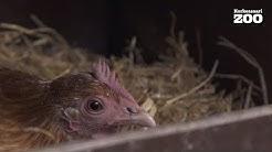 Luontokoulu Arkki: Kana ja muna – opetusvideo etätehtävien tueksi