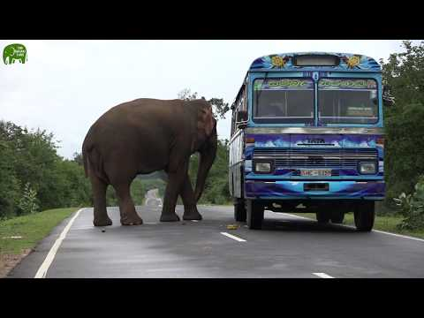 Elephant Trolls travellers, you need to feed to pass this elephant barricade.