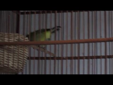 Burung Pleci Kawin