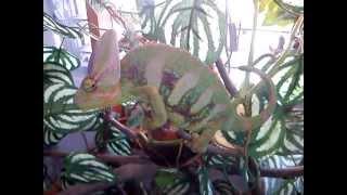 cuidados básicos de un camaleon de velo/veiled chameleon cares