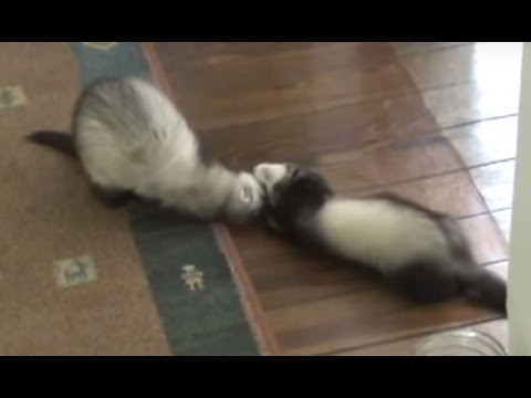 Ferrets Roll like rolling machine!