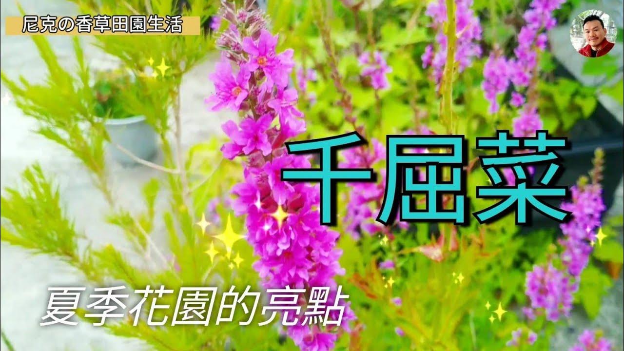 花園亮點:千屈菜 Lythrum salicariaLinn.