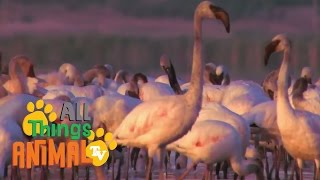 FLAMINGOS: Animals for children. Kids videos. Kindergarten | Preschool learning