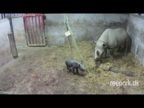 Black rhino gives birth for the first time in Scandinavia