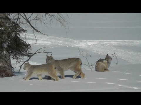 Thumbnail: LYNX Cats in our backyard! Northern Ontario