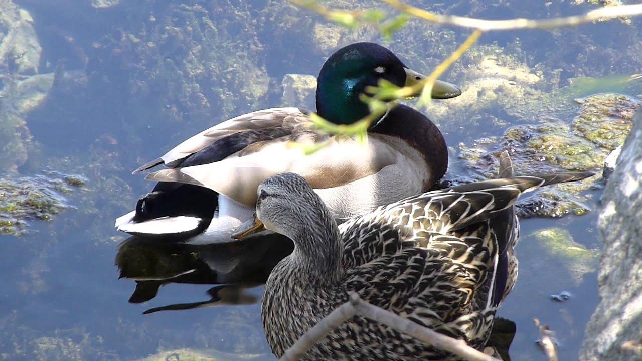 Жизнь в Канаде, Утки на отдыхе в парке на озере Онтарио, Канада
