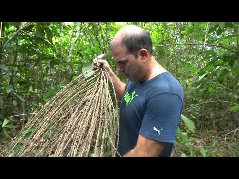 Coletas de cachos do açaí-solteiro (Euterpe precatoria) usando a PALMHASTE
