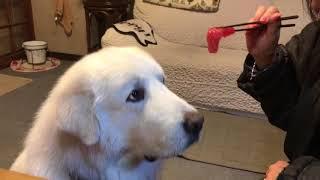 グレートピレニーズ/ピレニアンマウンテンドッグ『名犬ジョリー』の原作...