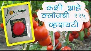 shetkari majha   tomato   कशी आहे टोमॅटो क्लॉज २२५  व्हरायटी    शिवार पाहणी २०१६
