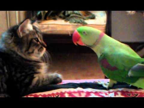Thumbnail for Cat Video Cat vs Parrot