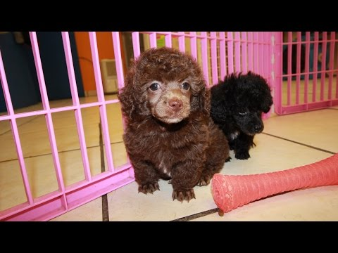 CHOCOLATE TOY POODLE PUPPIES FOR SALE GEORGIA LOCAL BREEDERS