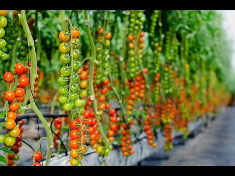 Como plantar tomates paso a paso youtube for Como cultivar peces en casa