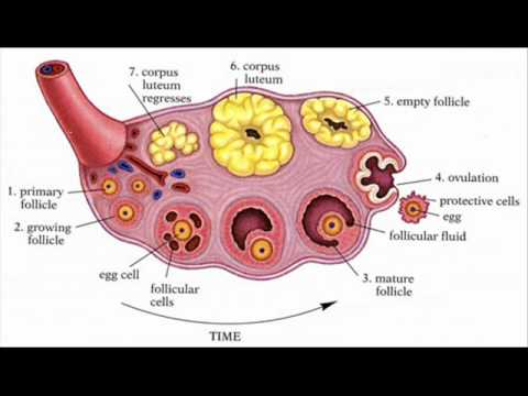 Ovary health education infection control icsp urdu hindi ovary health education infection control icsp urdu hindi part 1 of 3 ccuart Images