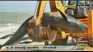 Small whales washed ashore in Thiruchendur, officials inspect