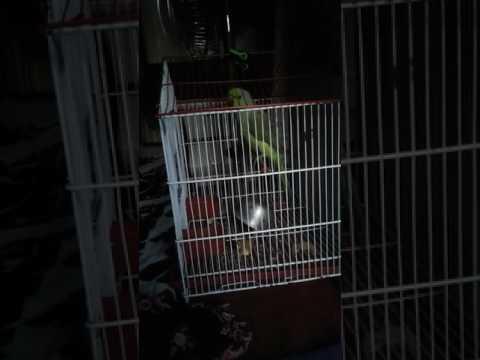 Sindhi speaking parrot