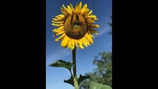 Tallest Sunflower Plant, Sunflower Gardening 2019